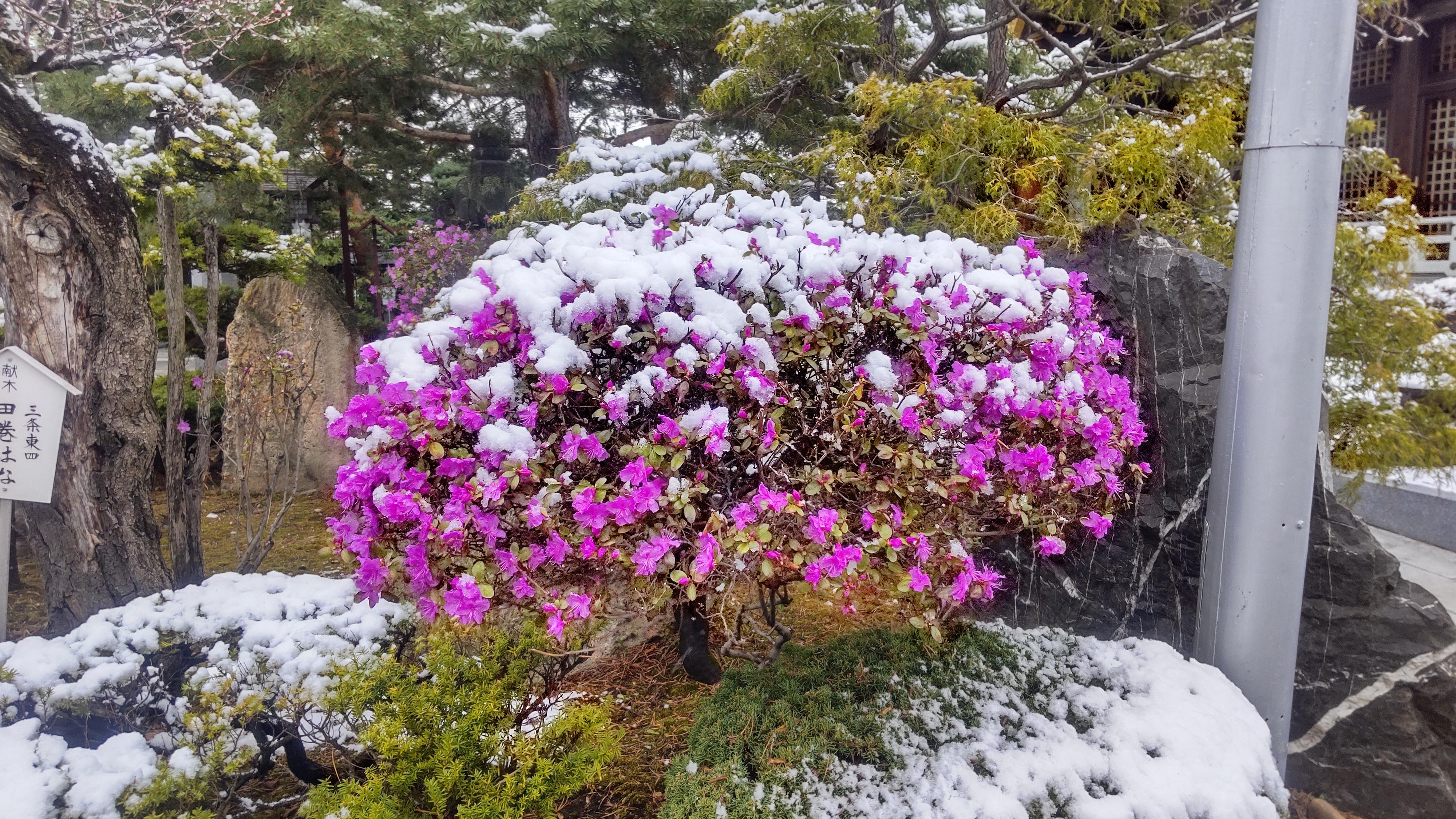 春の雪とツツジ